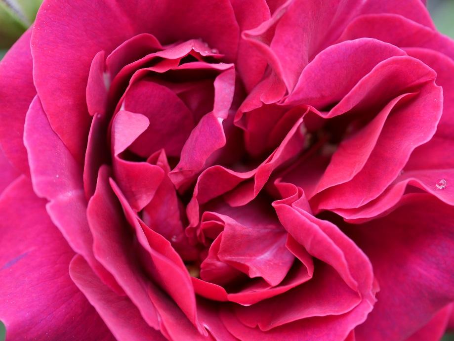 オデュッセイアの花芯をズームアップして撮影した写真。