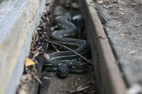 alive snake