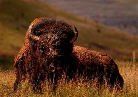 bison_1153106_fotoliarf_480x340