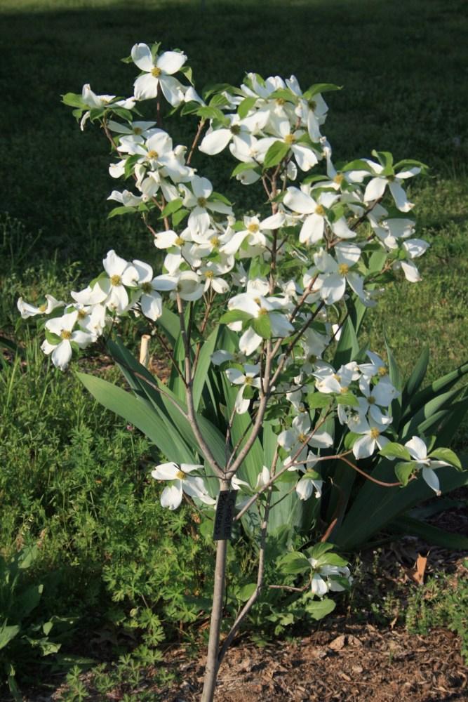 Bradford Pears NOT!!!!! -- Dogwoods (6/6)