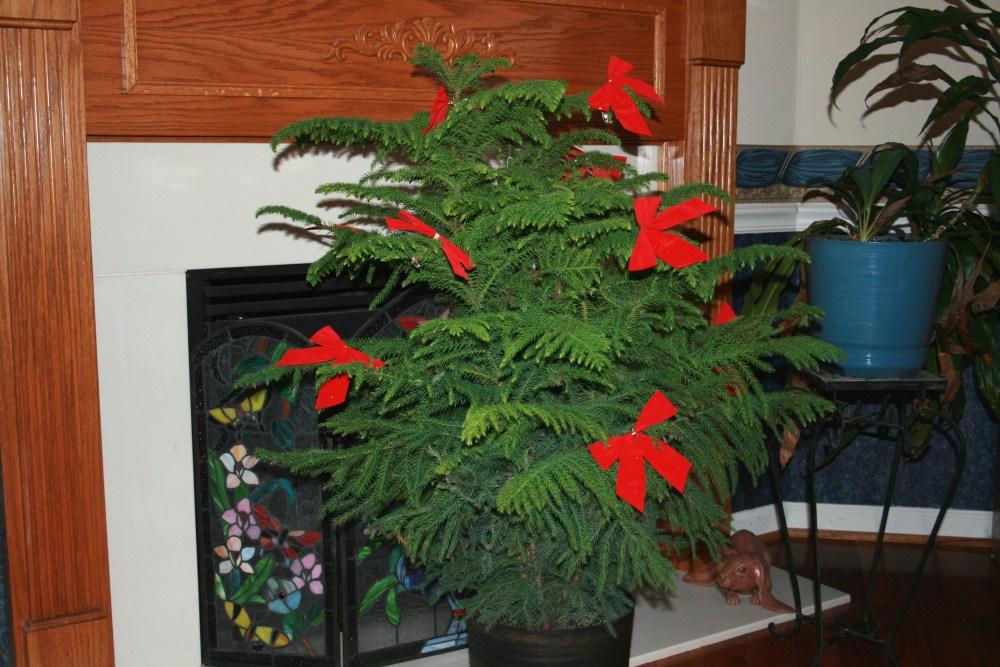 Norfolk Island Pines, Happy Thanksgiving (1/3)