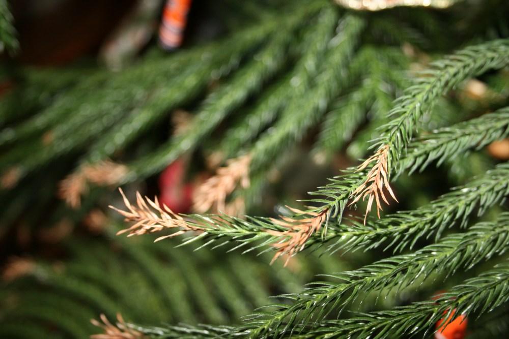 Norfolk Island Pines, Happy Thanksgiving (2/3)