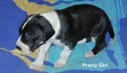 pretty girl 3 weeks dane puppy
