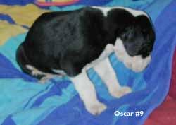 oscar great dane puppy