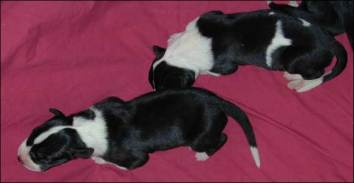 geat dane puppies 2005