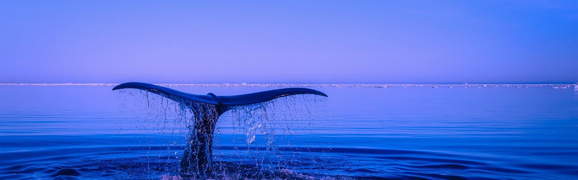 La chasse à la baleine en Islande