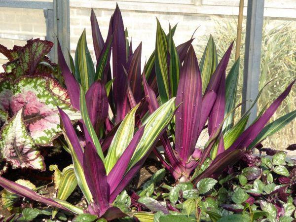 Цветы комнатные листья фиолетовые: Список комнатных ...
