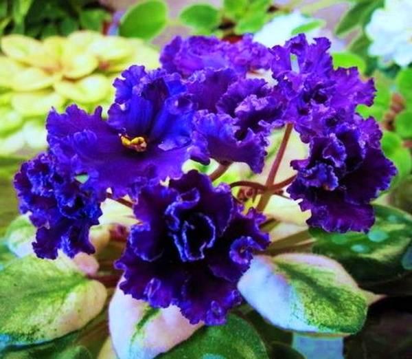 Черная фиалка: фото и названия таинственных цветов ...