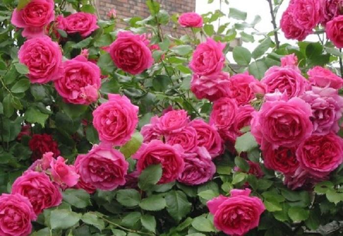 Сорт «Парад» (Parade) цветет яркими розовыми цветками в традициях старых исторических роз.