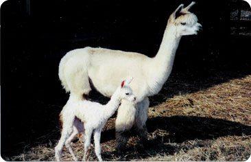 Alpaca Breeding Services