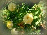 yellowminiroses