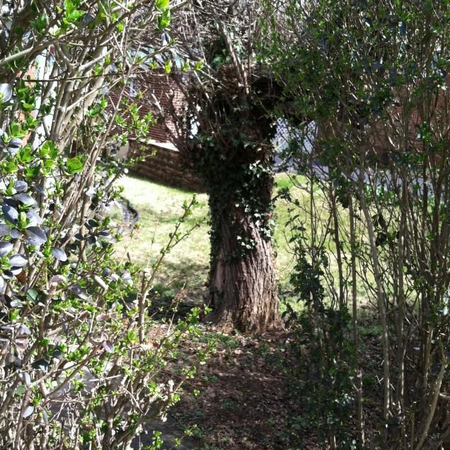 Looking through to Catalpa tree