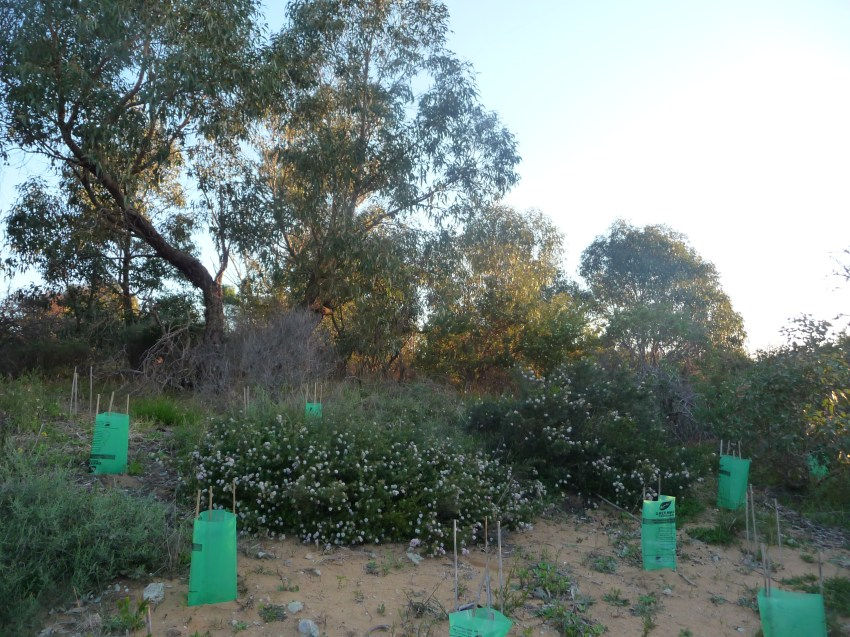 New Plantings Trigonomteric Park Perth