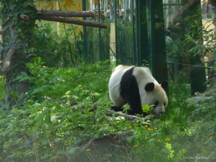 This could be one of the 2 parent pandas at the zoo, either Yang Yang the female or Long Hui the male