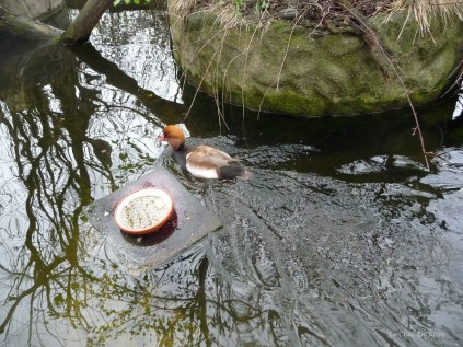 Duck at Alpenzoo Innsbruck