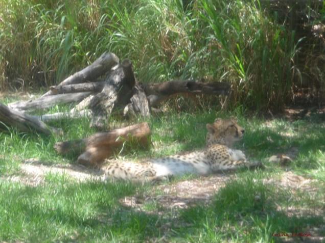 Cheetah in the African Savannah