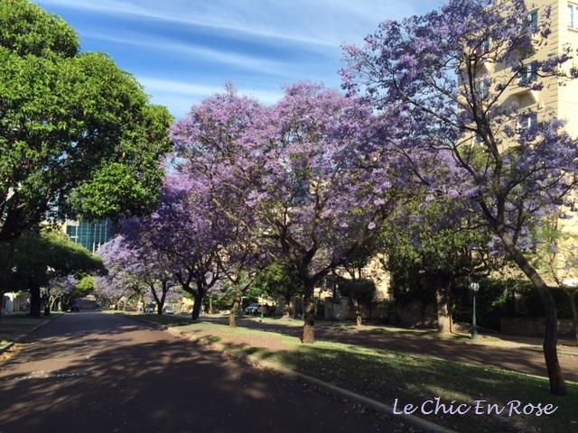 Jacaranda trees in full bloom in central Perth
