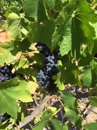 Oakover grapes