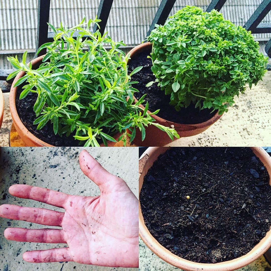 Las raíces (y mis manos) adoran la tierra húmeda ;)) #balcon #nature #beautiful #love #pretty #plants #blossom #sopretty #spring #botanical #love #green