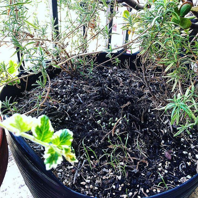 Entre el romero y la lavanda crece la albahaca #plantasaromaticas #jardinurbano #urbangarden #vivalavida