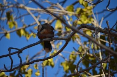 Grey-crowned Babbler