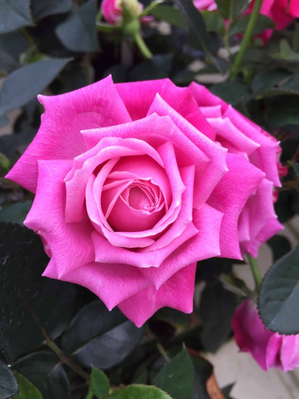 Orange bigflowered easytogrow minirose Roses forever