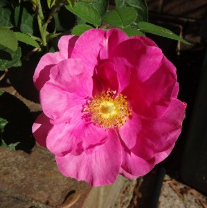Apothecary Rose