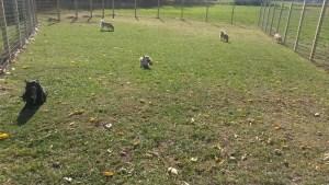 five buhunds in the yard