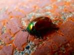 Mint Leaf Beetle