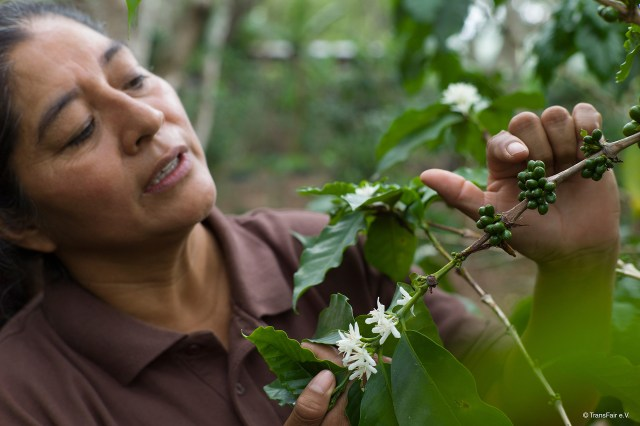 Fair trade coffee producer looks at green coffee cherries on the Rosette Network