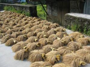 Arroz en Banaue; el proceso de siembra y recogida es todavía manual.