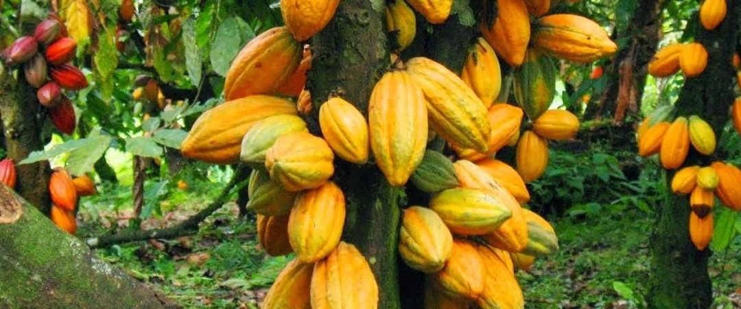 HOW WILL WE PAY COCOA FARMERS?