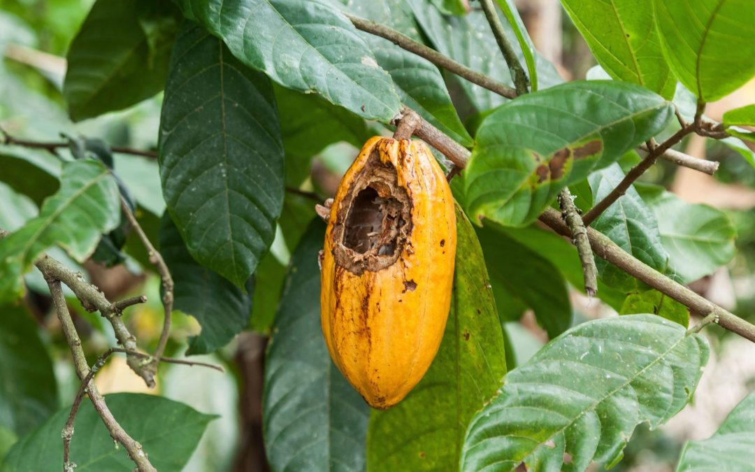Is Chocolate on the Road to Extinction?