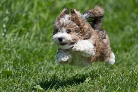 flying-havanese-puppy