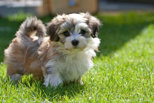 havanese-puppy-first-steps-05