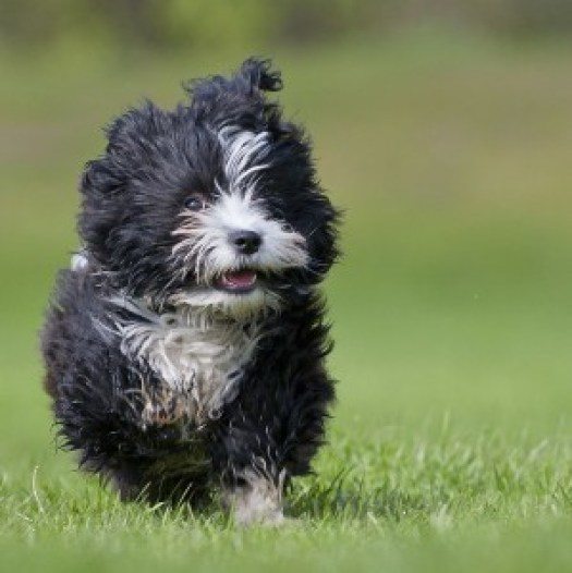 running-havanese-puppy-suprised-looking