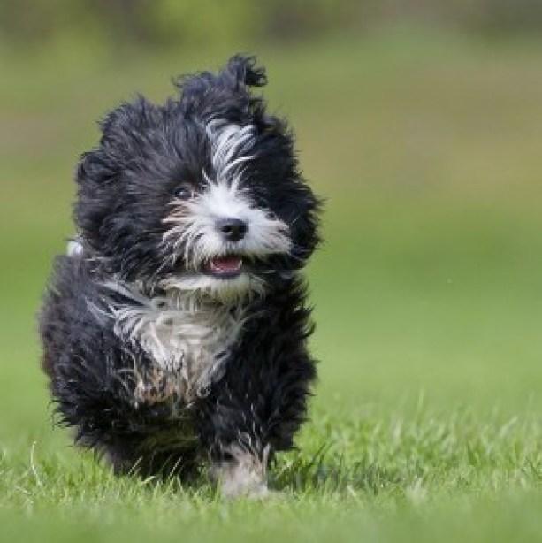 running-havanese-puppy-suprised-looking