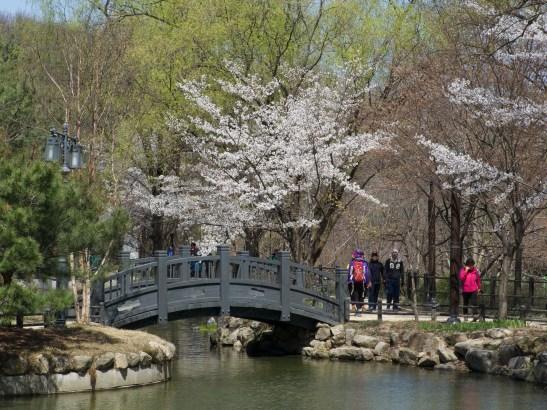 Cherry blossom Gwanaksan