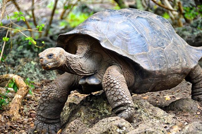 Ivory Turtle