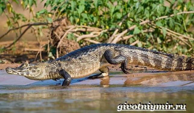 Eläimet Southern-America - Kuvaus-ja -ominaisuudet - Animal-Etelä-Amerikka-21