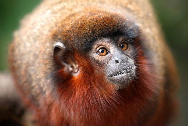 Etelä-Amerikan eläinmaailma - Luettelo, näkymät, kuvaus ja valokuvat