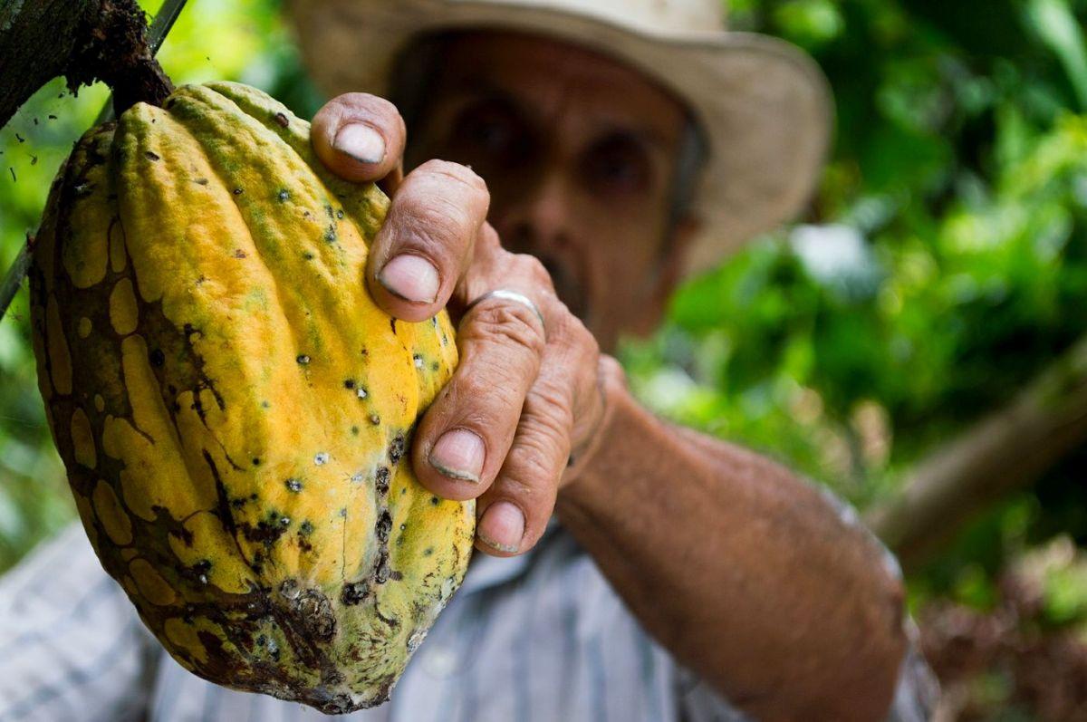 czekolada - drzewo kakaowca
