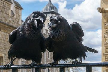 Tower of London kruki