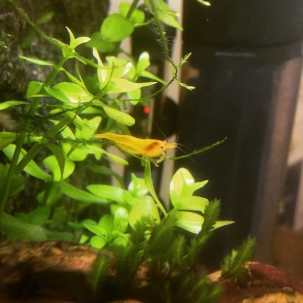 Neocaridina heteropoda (Yellow Cherry Shrimp)