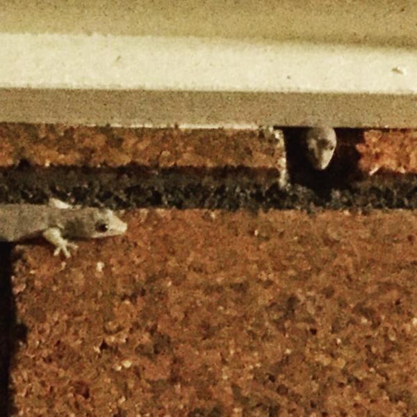 Goonellabah Geckos
