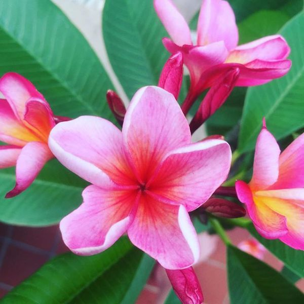 Flowering Frangipani in the Frostlands