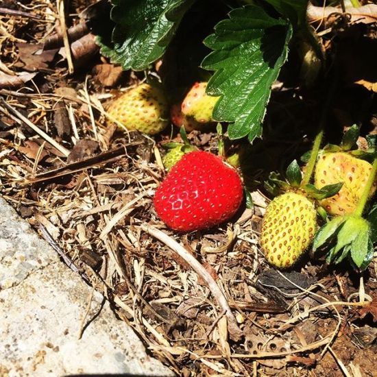 First strawberry of the season...