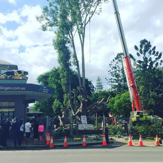 Church Street Camphor Laurels Chopped Down