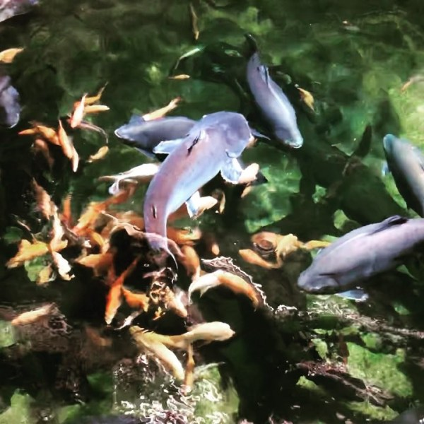 Feeding time for the exotic freshwater species