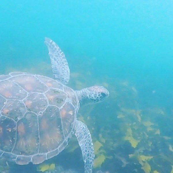 Swims with sea turtles...